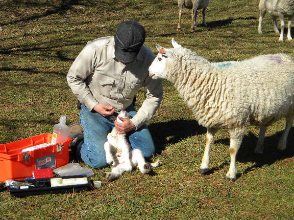 lamb-04