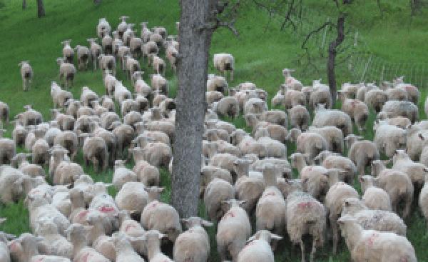 lamb-07