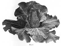 cabbage.01