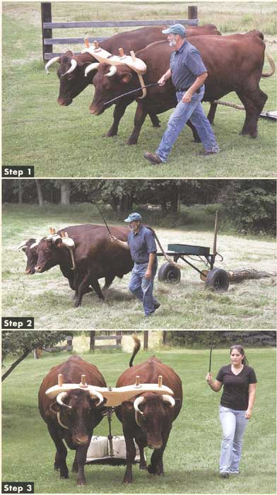 oxen pulling