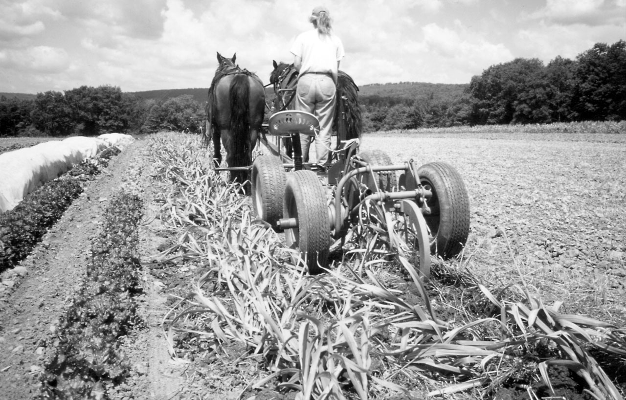 Horsedrawn No-Till Garlic