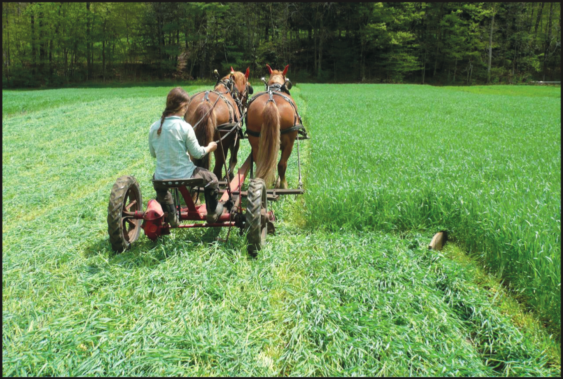 Horsedrawn Mower Cutting Hay Crop