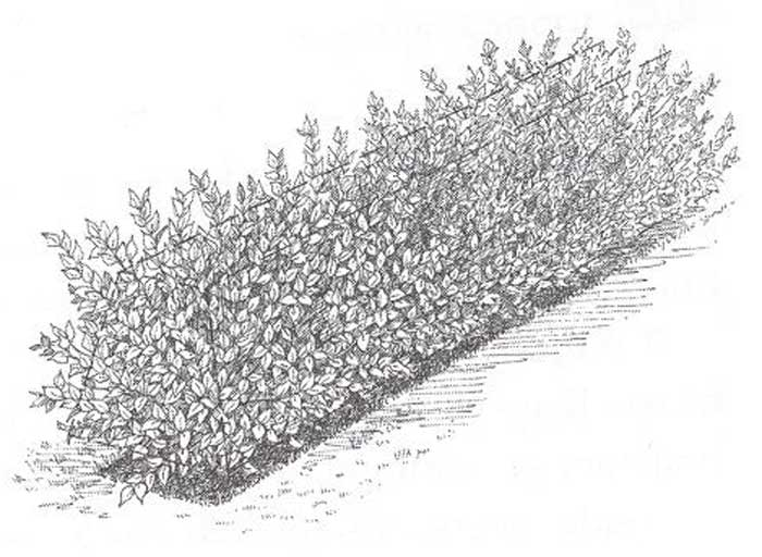 How To Prune a Formal Hedge