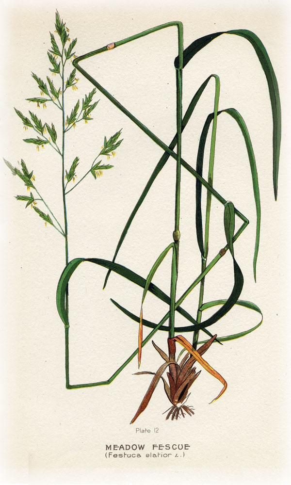 grasses.fescue