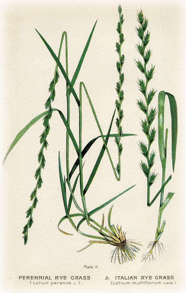 grasses.italianrye