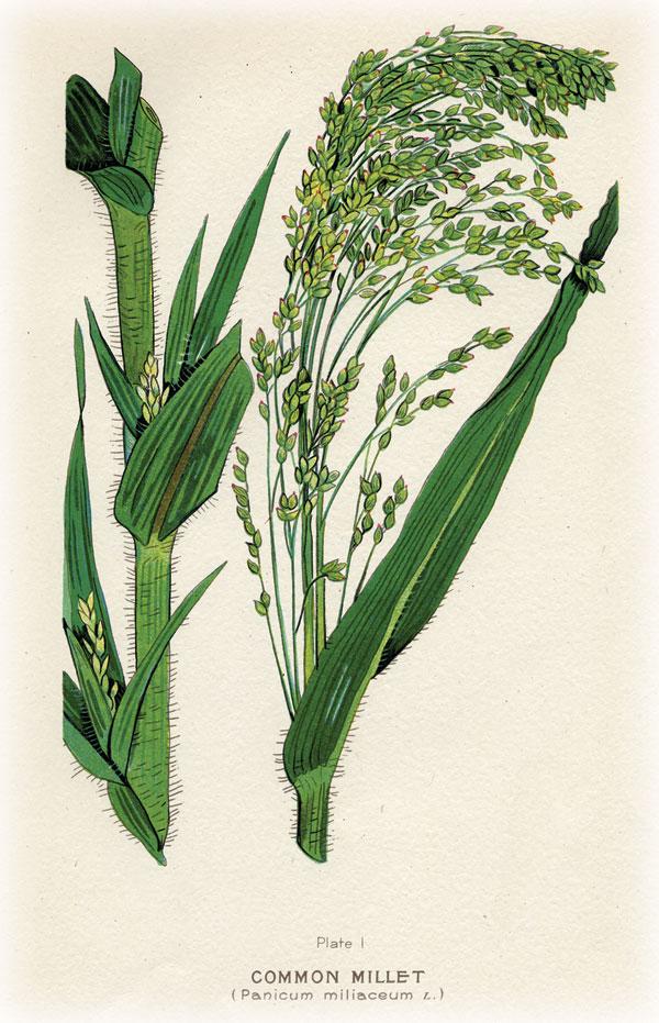 grasses.millet