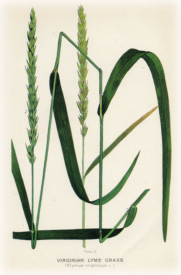grasses.virginialyme