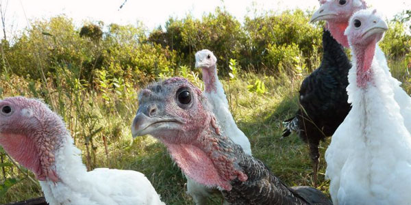 Raising Free Range Turkeys is a Joy!