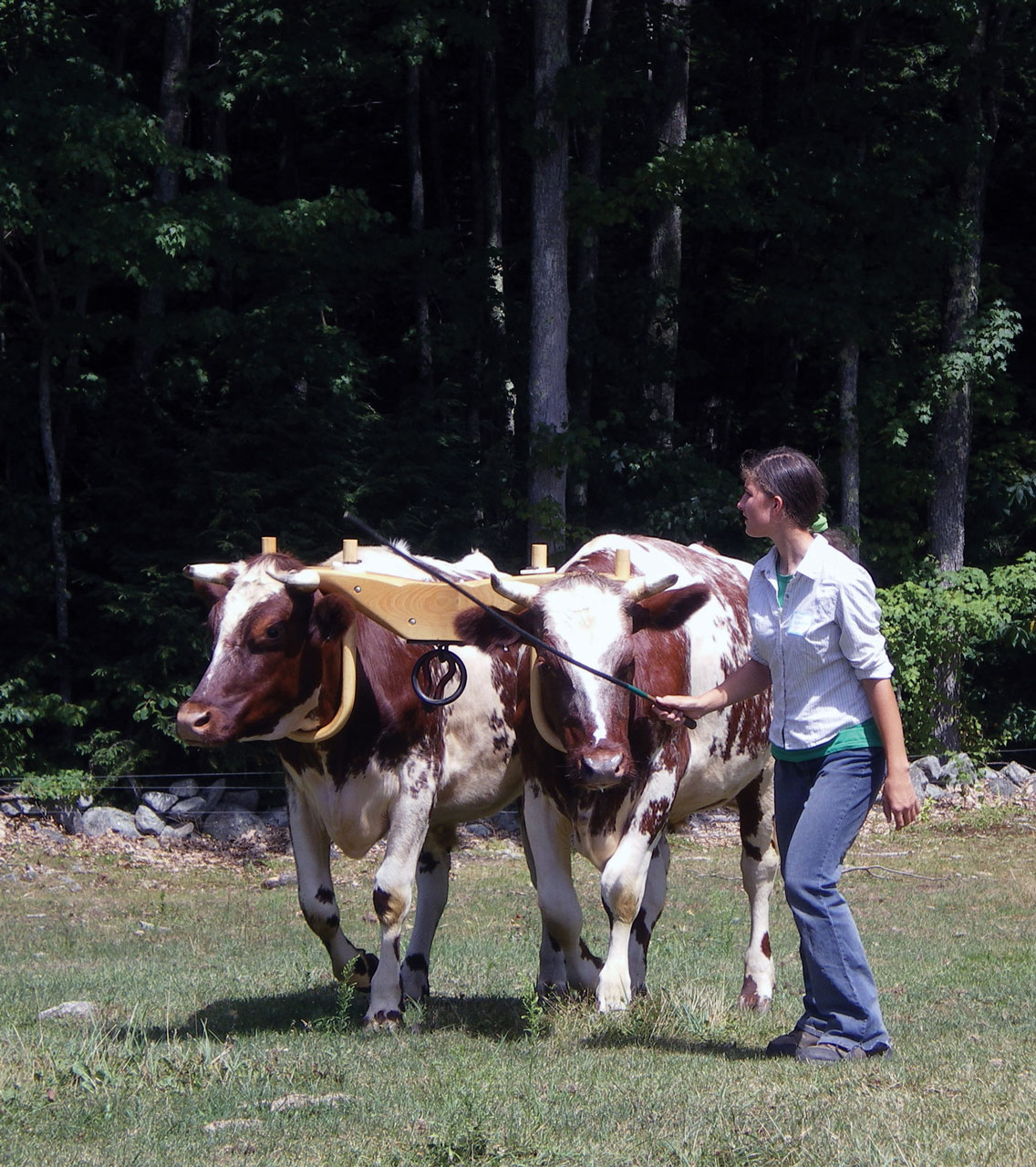 Logging with Oxen in New Hampshire