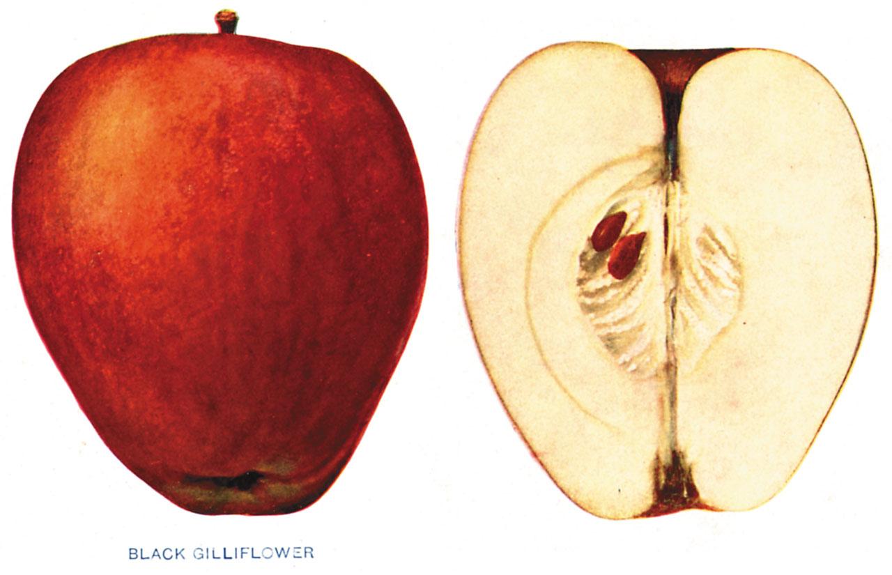Lost Apples - Black Gilliflower