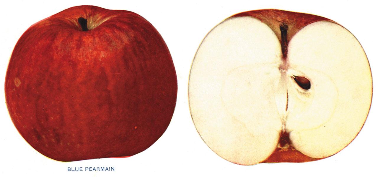 Lost Apples - Blue Pearmain