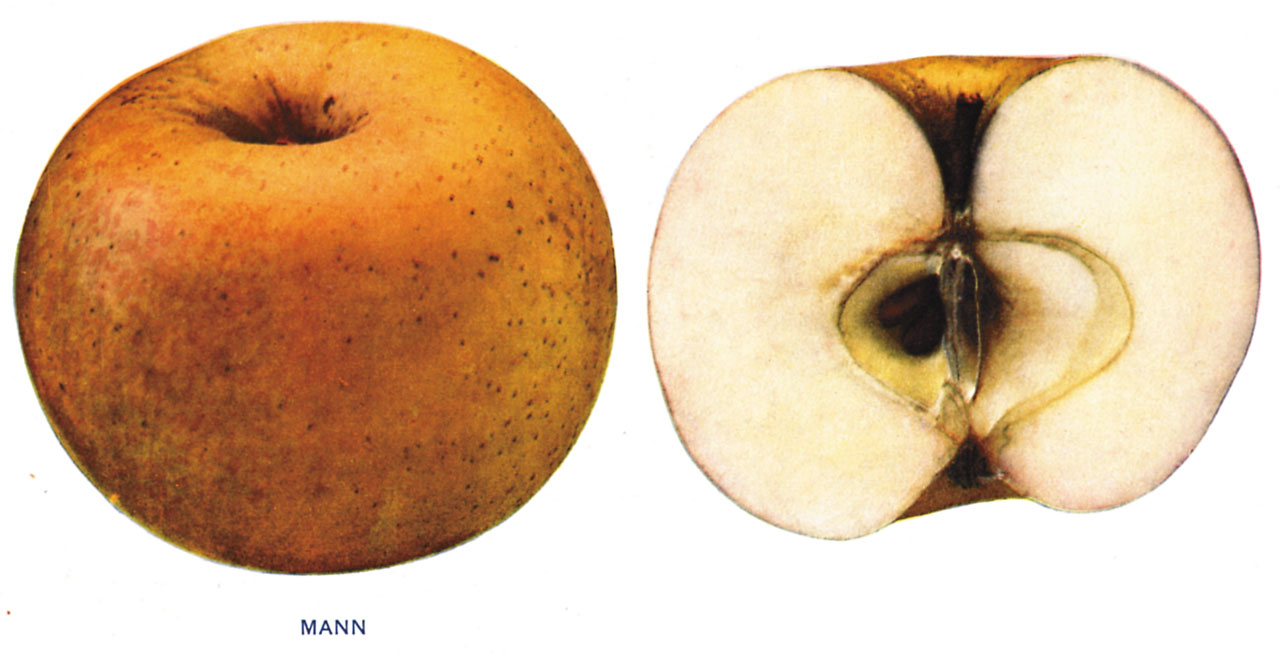 Lost Apples - Mann