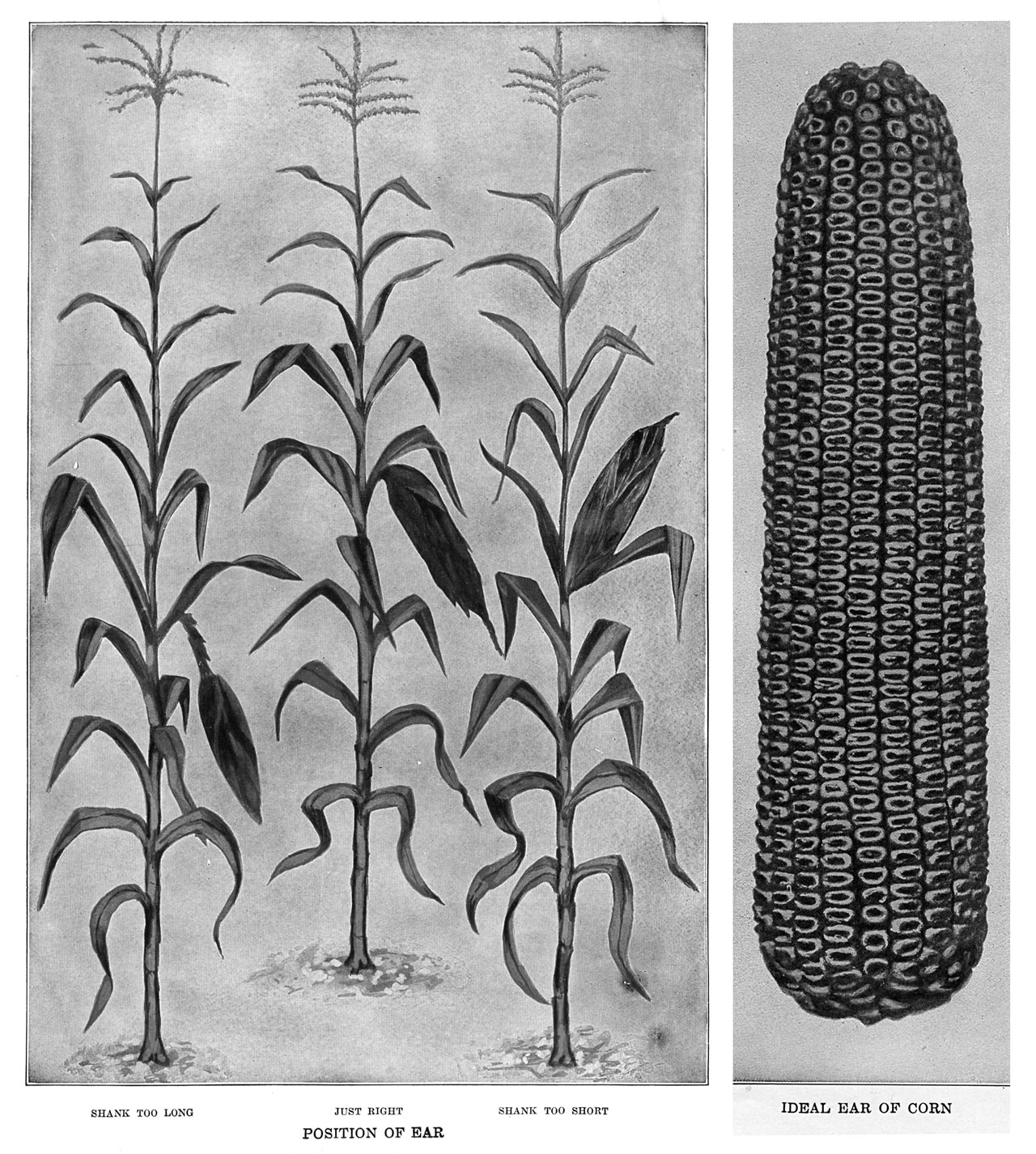 Open-Pollinated Corn at Spruce Run Farm