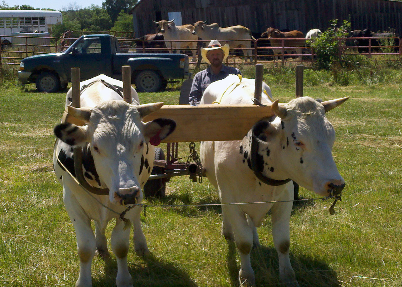 Oxen Experiences – Small Farmer\'s Journal