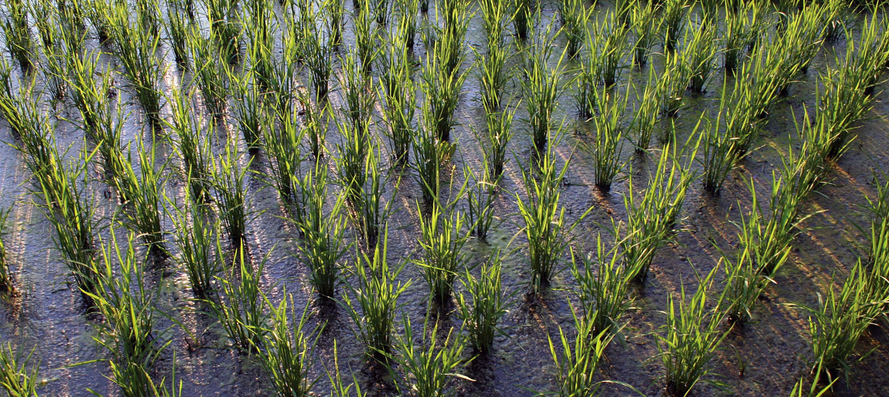 Rice as a New Staple Crop for Very Cold Climates