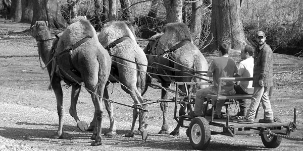 Camel Power in Georgia