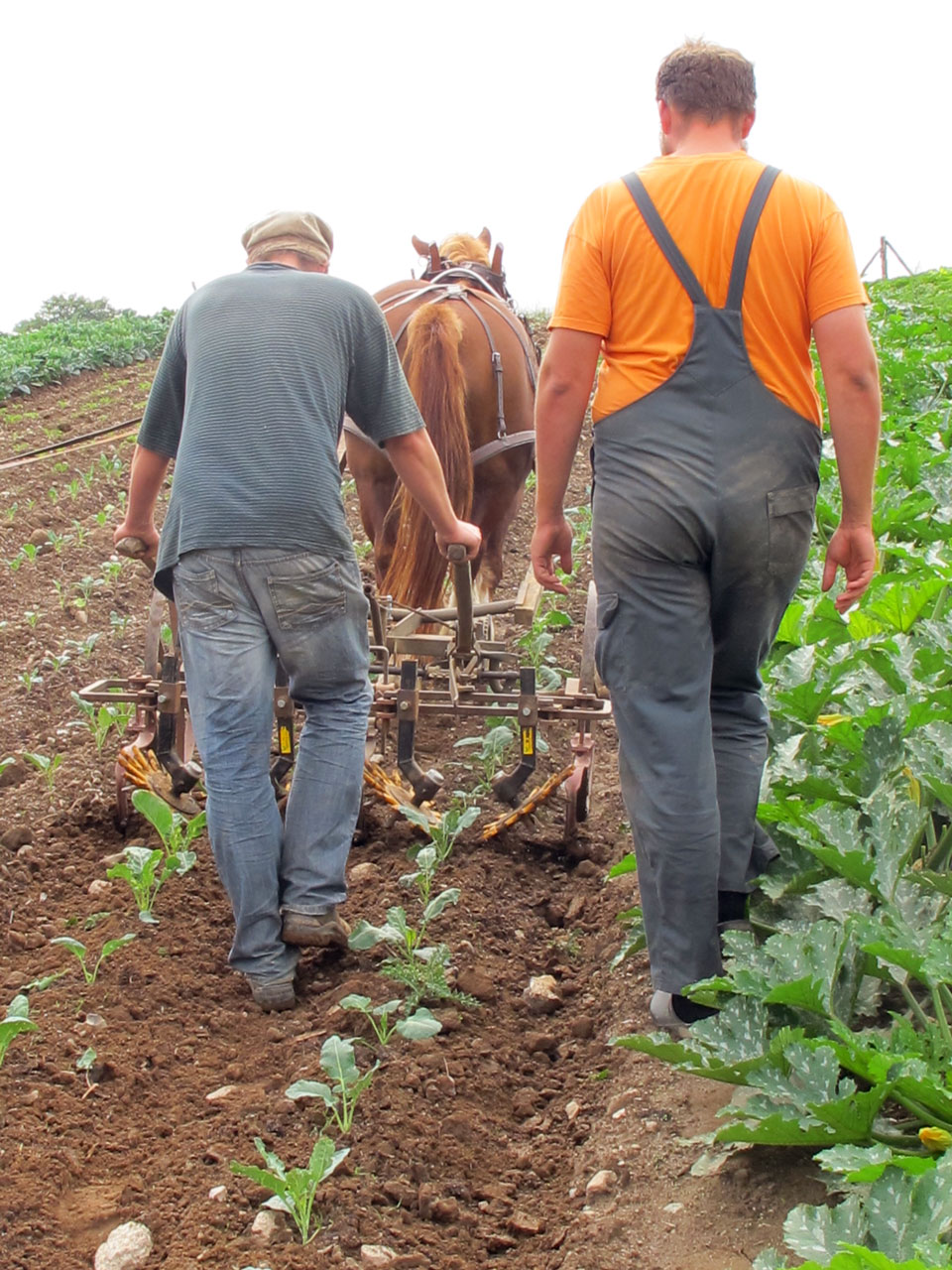 Horse Labor Instead of Tractors