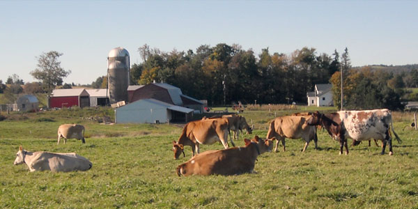 New York Organic Grazing Dairy