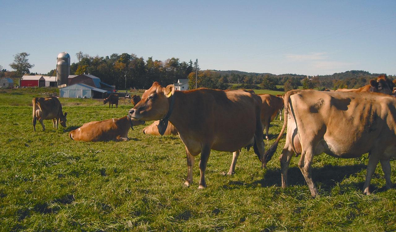 New York Organic Grazing Dairy