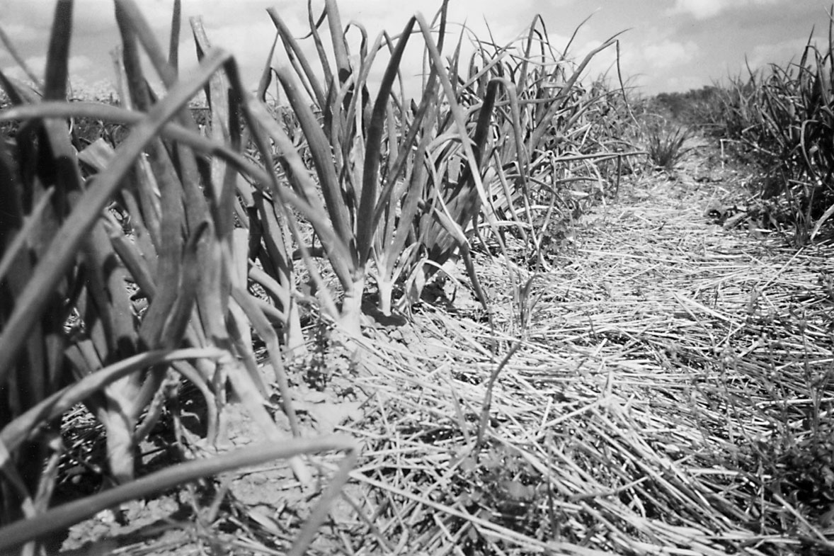 Cultivating Questions Ridge-Till Revisited