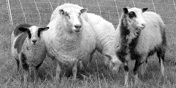Finnsheep Sheep for all Economic Seasons