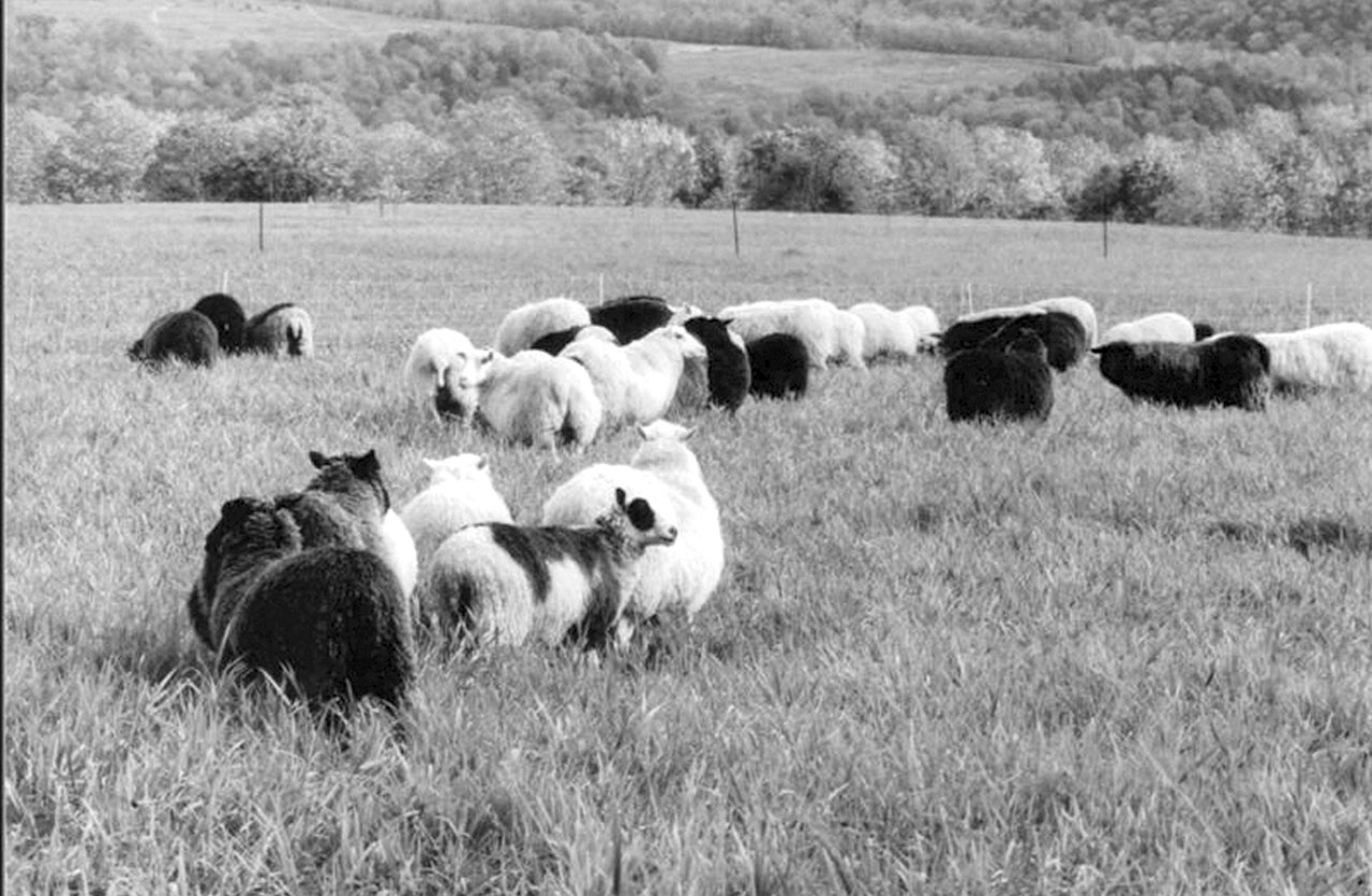 Finnsheep Sheep for all Economic Seasons