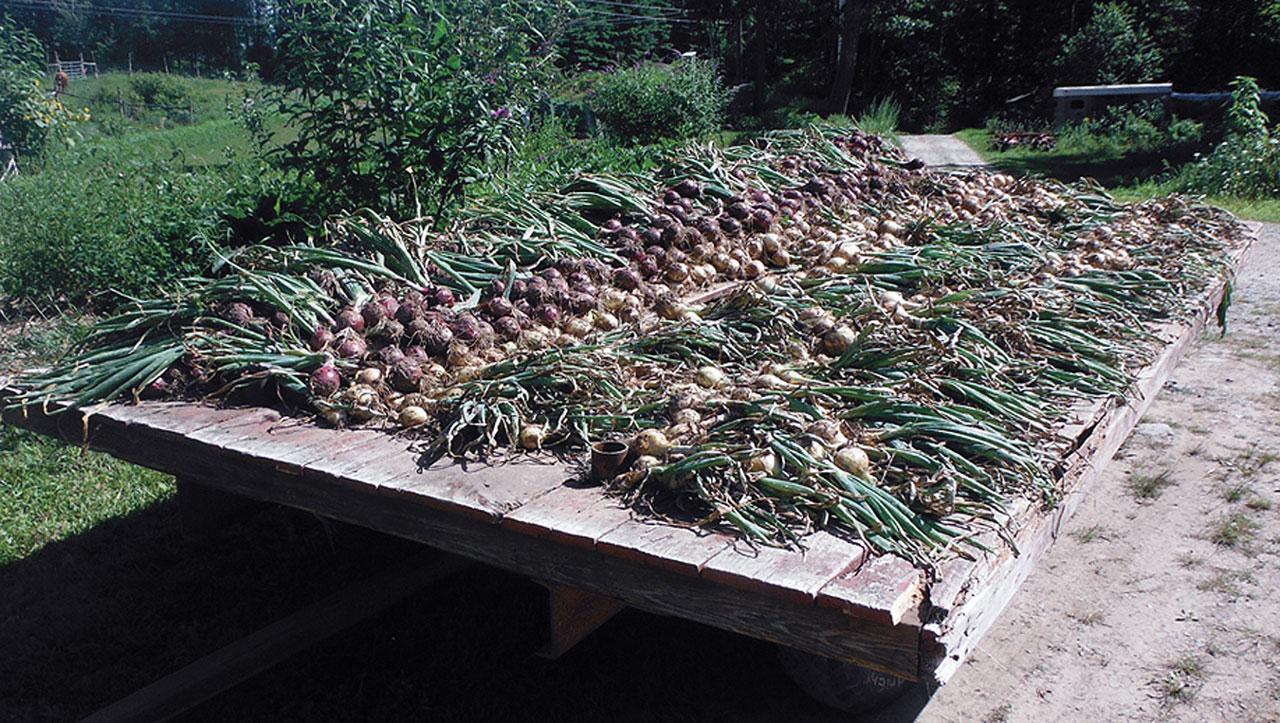 Low Tillage Radish Onions