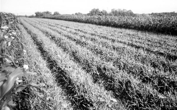Cultivating Questions Winterkilled Cover Crops for a Mild Climate Part 2