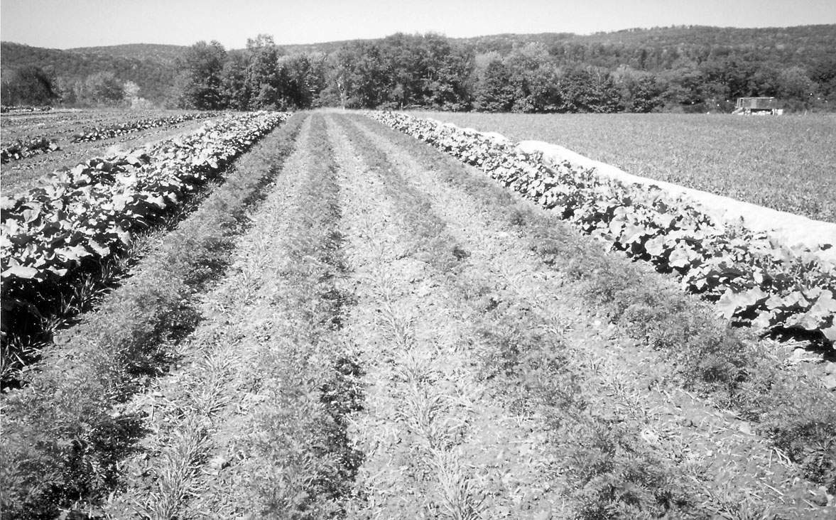 Cultivating Questions Winterkilled Cover Crops for a Mild Climate