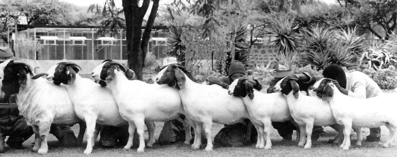 Boer Goats – Small Farmer's Journal