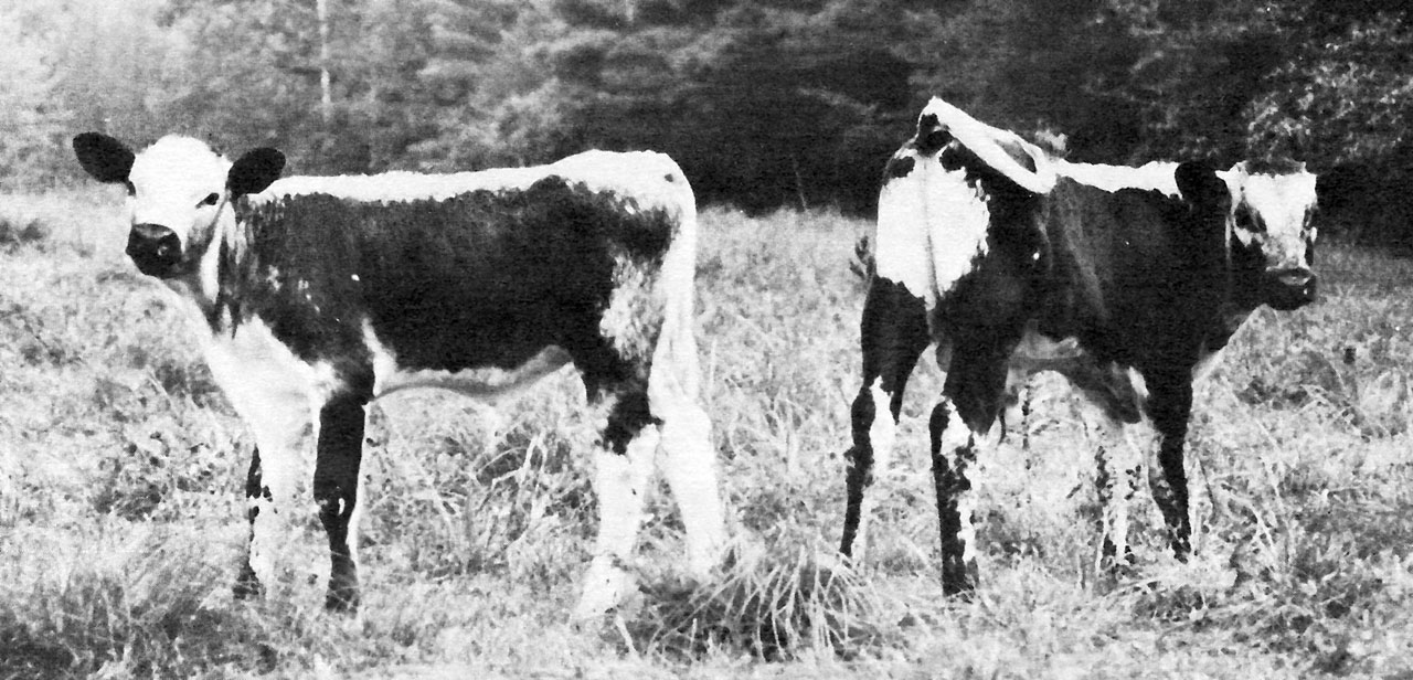 Lineback Cattle