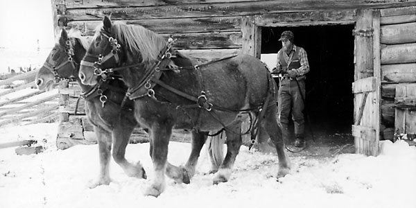 Feeding Elk Winter Work for the Belgians