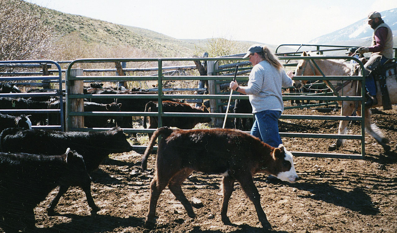 Cattle Handling Part 1 Basic Cattle Handling