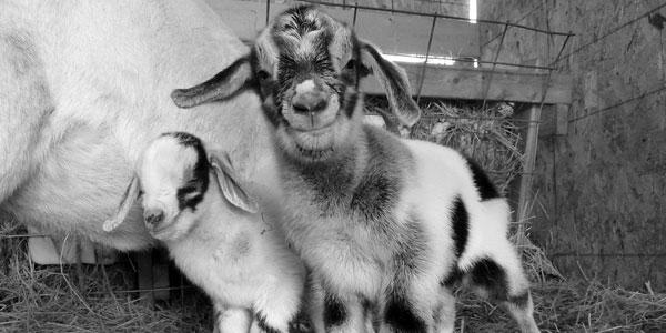 Goat Lessons