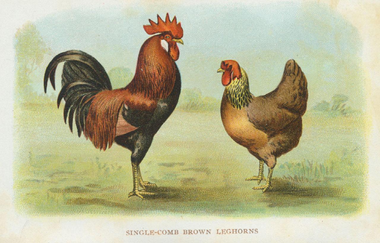 Raising Chickens on the Schekel Farm