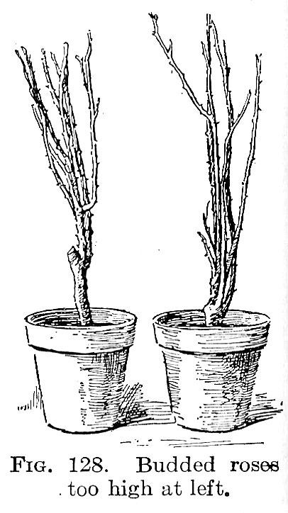 Propagation by Means of Budding and Grafting