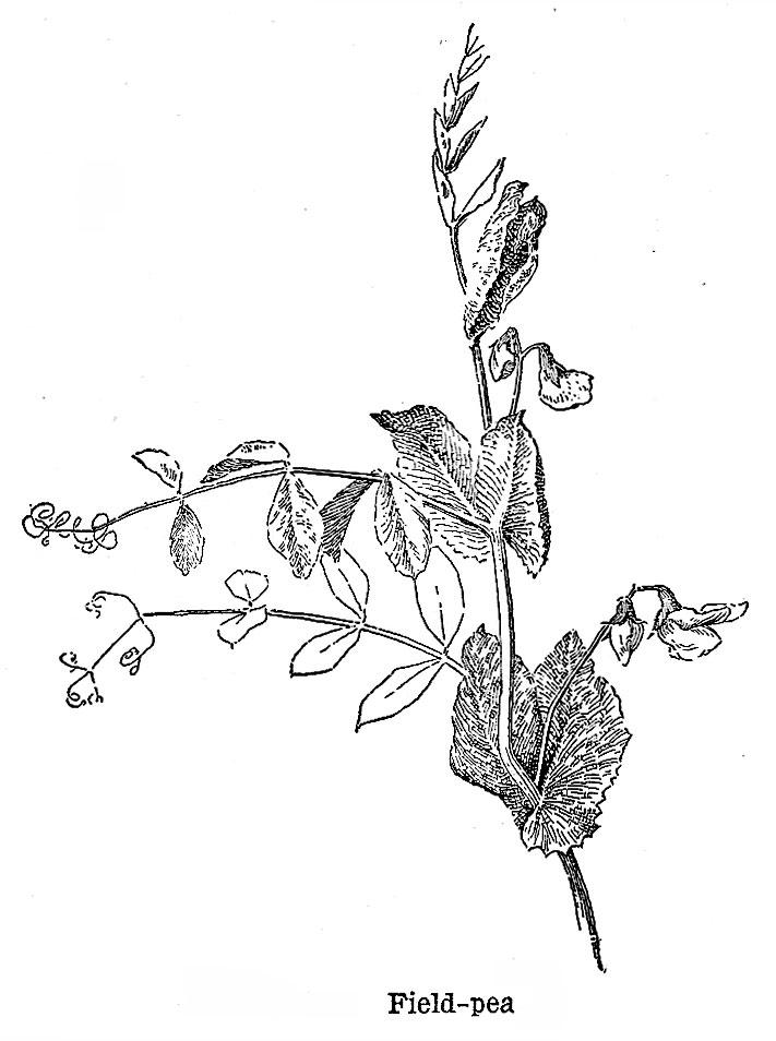Peas as a Field Crop