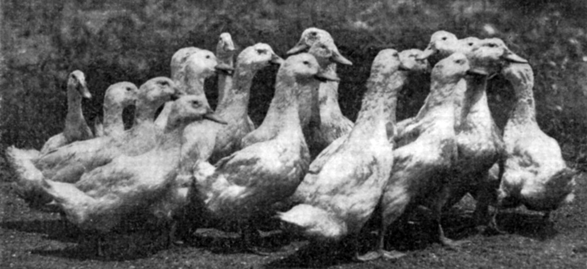 Duck Raising