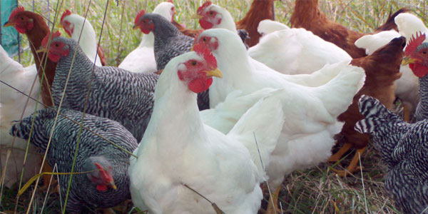 Heritage Breed Meat Chickens