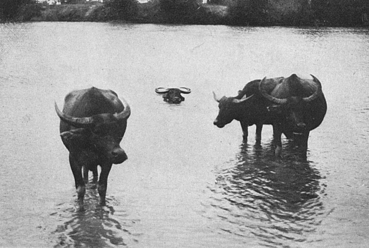 The Water Buffalo