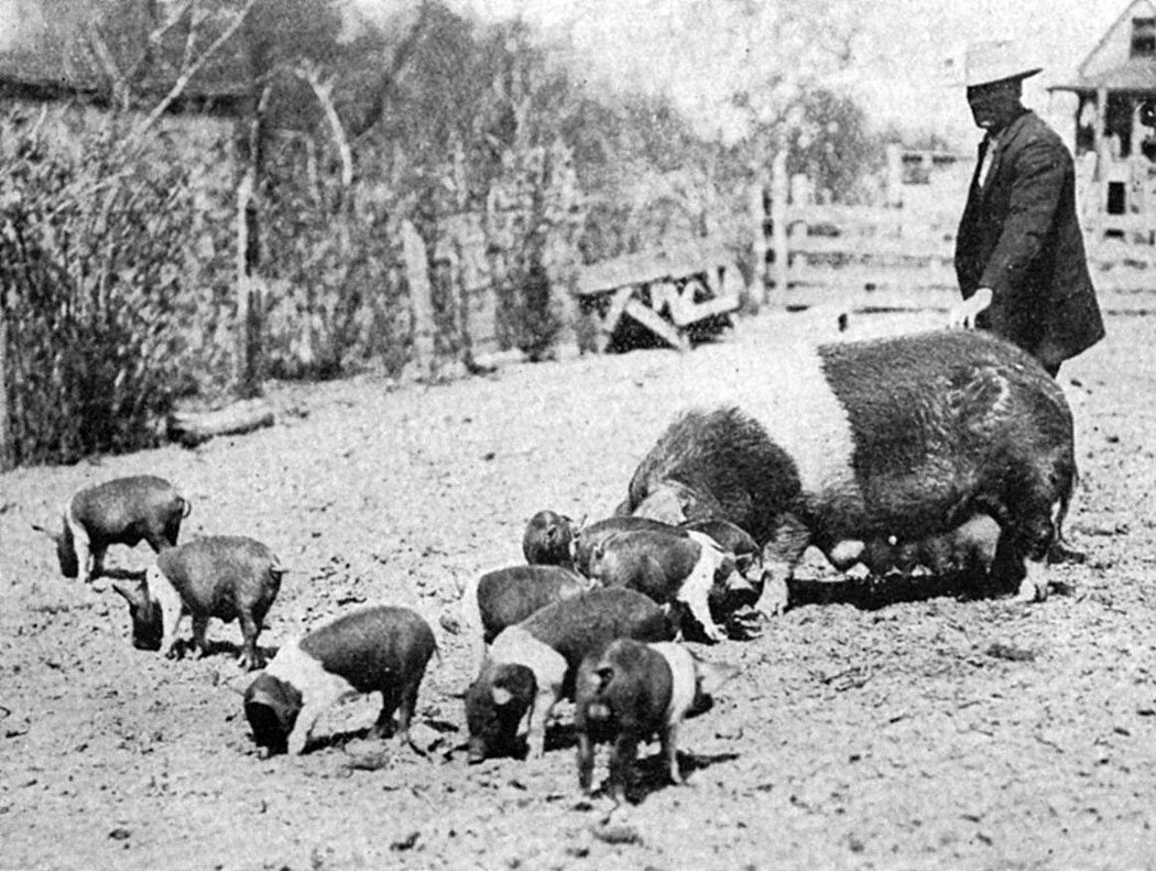 Brood Sows and their Litters