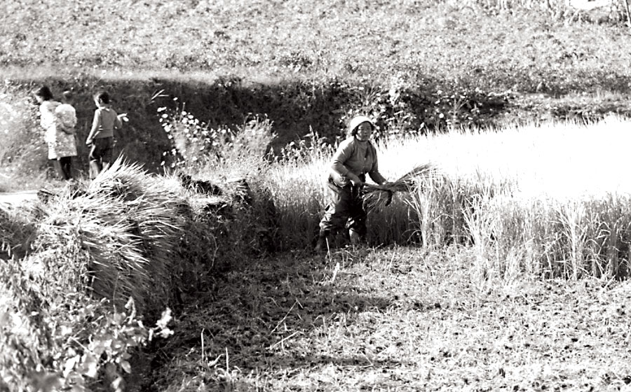 Korean Rice Farming