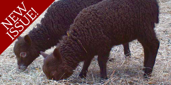 Shetland Sheep A Breed Worth Saving
