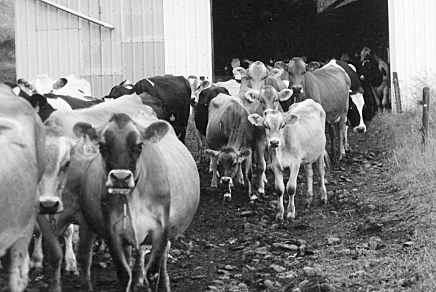 The Big Brown Swiss Cow and Her Attributes