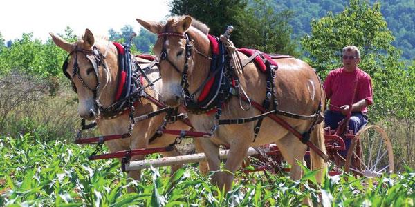 Maud the Mule