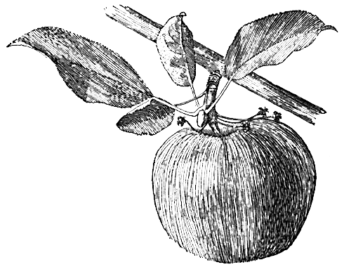 Establishing Apples in the North Country