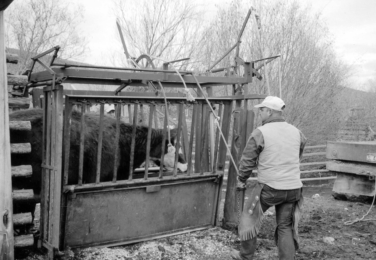 Safety Factors to Consider When Handling Cattle