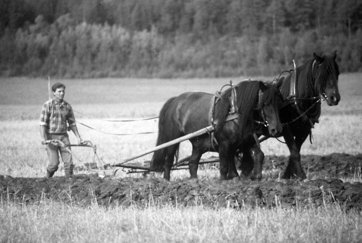 Workhorses in Norway