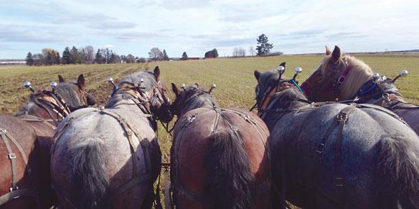 Todays American Brabant Horse