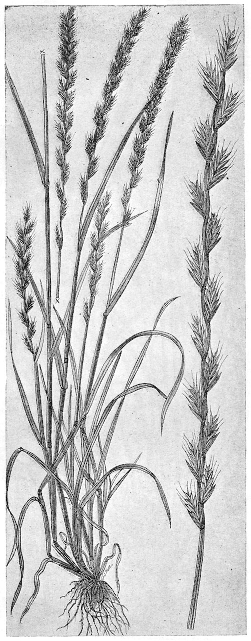Important Cultivated Grasses